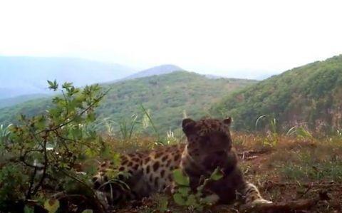 俄罗斯濒危远东豹被拍到像小猫一样玩耍