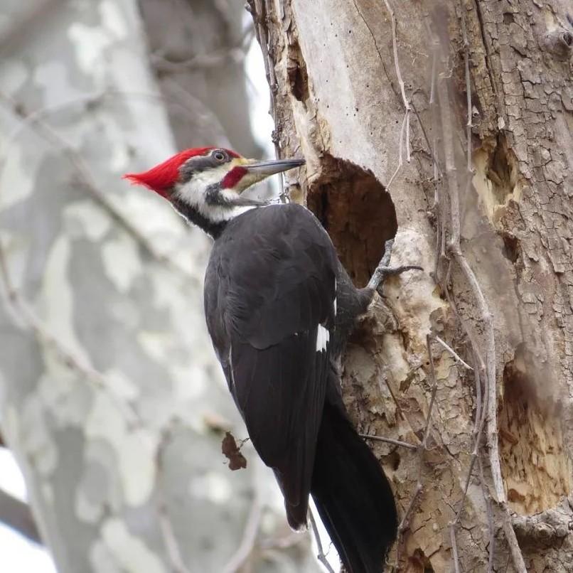 啄木鸟啄木除了捉虫,原来还有这么多其他原因!