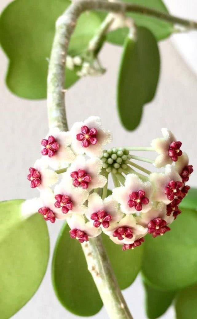 每天有3小时散射光就能开花的心叶球兰,花朵艳丽,叶子特浪漫