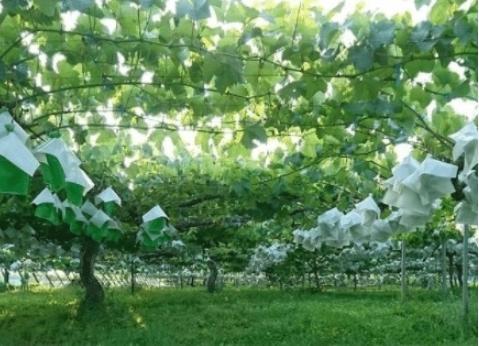 """日本的""""超级""""葡萄园,2棵树支撑起整个果园,难怪价格那么贵!"""