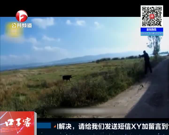 《夜线60分》云南:疯牛扑向红衣女子  遭民警一枪击毙