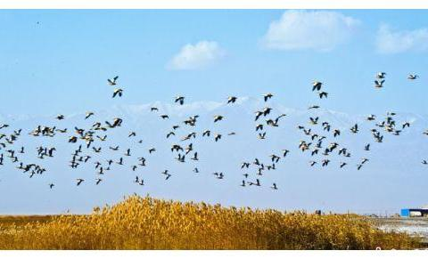 甘肃阿克塞高原湖泊候鸟翩跹绘生态画卷