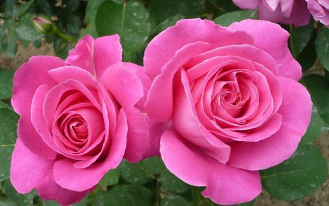 """喜欢菊花,不如养盆""""高档玫瑰""""金辉玫瑰,万紫千红,争奇斗艳"""