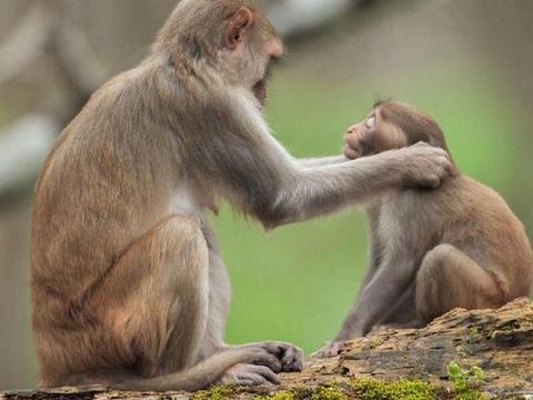 小猴子被母猴抓耳蹂躏,知道原因后,网友:打得好!