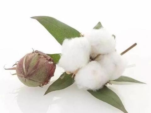 棉花品质决定棉纤维的使用性能,影响棉纱线的质量和纺织成本
