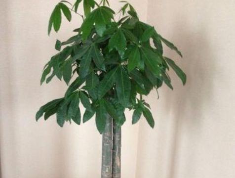 养发财树,这几个错误最容易犯,难怪黄叶烂根!避免后,枝粗叶绿