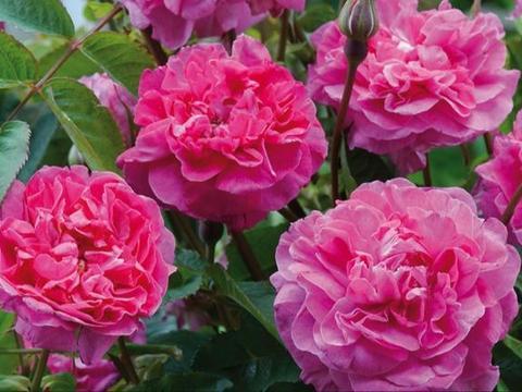 爱上养花,不如养盆英格兰玫瑰,似粉嫩美女,俊俏妖娆,香气怡人