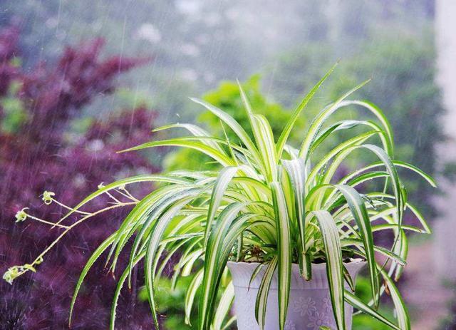 吊兰翠绿四季常青,做好这几点,不黄叶抽新快真耐看