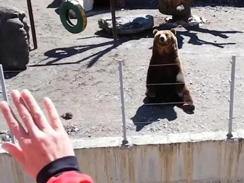 俄罗斯一只棕熊会跟人互动打招呼,吸粉无数