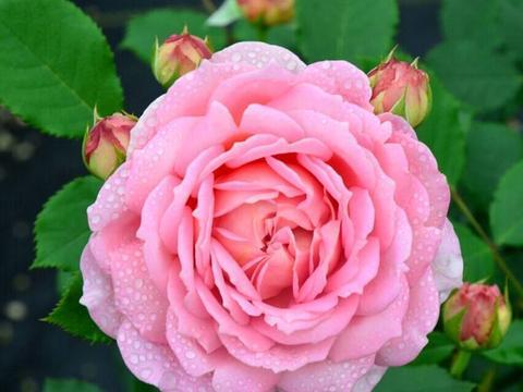 """养盆""""高档玫瑰""""银禧庆典,粉金双色,高贵优雅"""