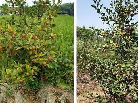 油茶林下套种大豆的优势及栽培关键技术