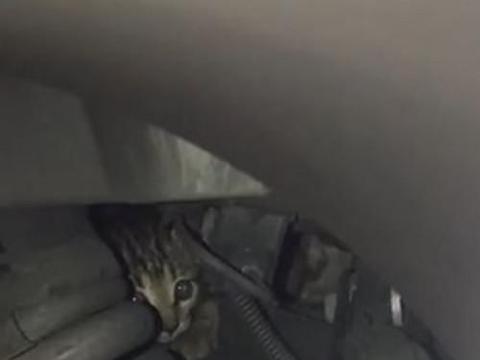 小猫躲引擎盖又卡底盘,救出后爬上肩膀不离开:可以养我吗