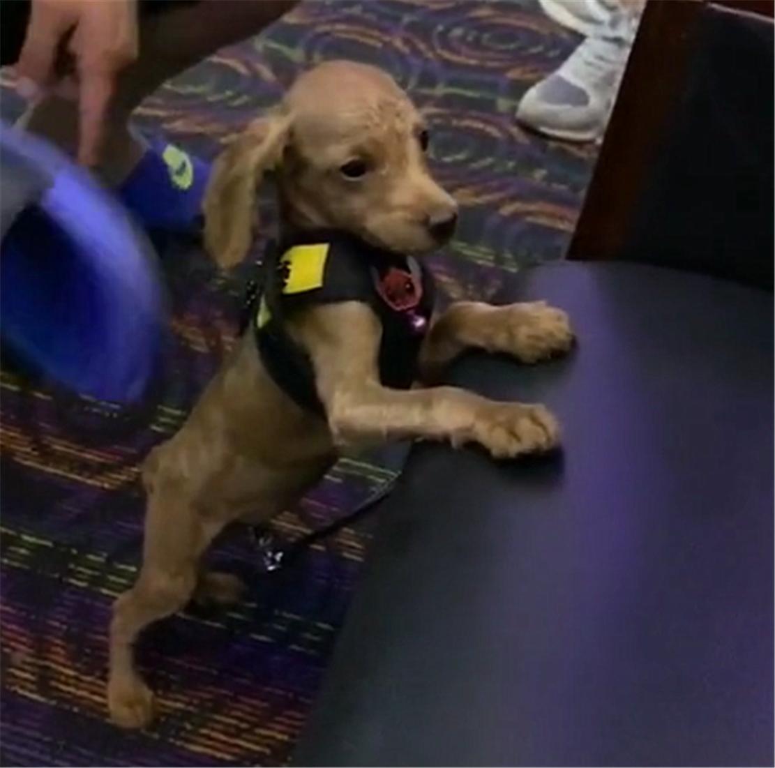 泰迪被寄放在朋友家,犯错后遭拖鞋伺候,网友:恶犬被制服了……