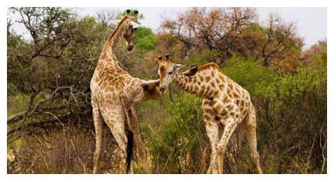 长颈鹿为取得领地支配权大打出手,姿势奇特,简直让人大跌眼镜