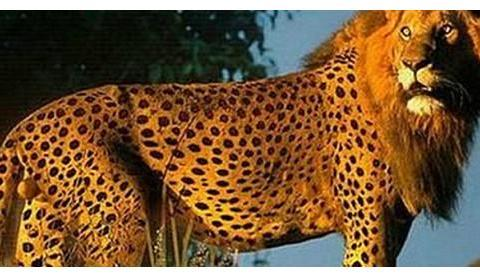 雄狮和母豹在野外结合,数月后母豹生下孩子,模样引人热议