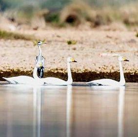 14只!衡东洣水湿地首次发现小天鹅,属国家二级保护动物