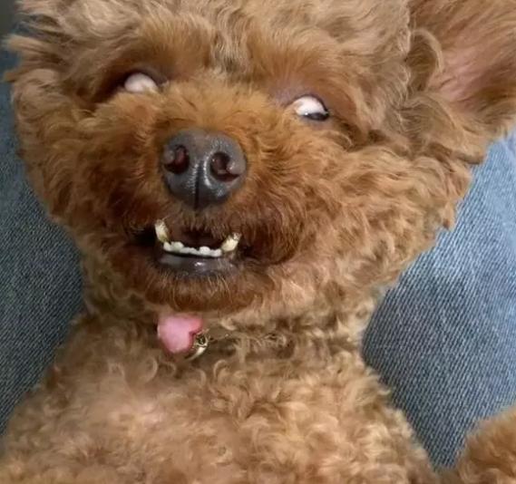 泰迪睡觉翻白眼让人慌,胆小的人发抖,狗中邪不轻!