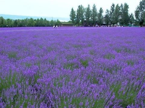 北海道的梦幻薰衣草, 吸引众多中国游客