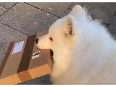 大白狗帮主人拿快递,遇到外卖也不敢偷吃,拒绝陌生人帮忙
