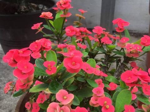 一款小红花,不用浇水不用施肥,四季开花真好养
