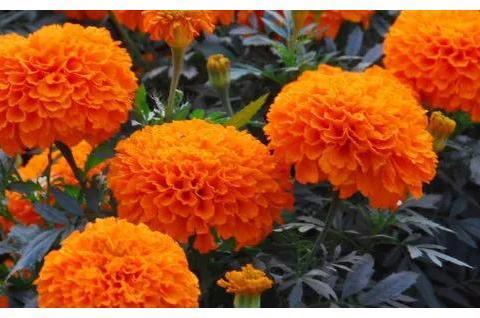 """冬季适合养""""雏菊"""",品种多花色艳,长成棒棒糖,养在家里喜庆"""