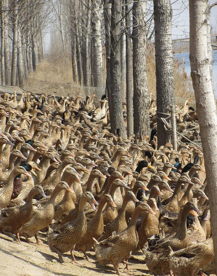 蛋鸭育雏第1天日程管理影响鸭子一生?