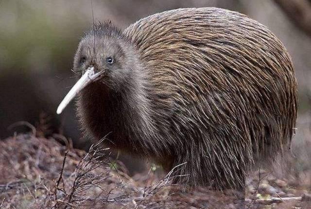 山海经观察:万万没想到,新西兰国鸟被中国古人认为是旱灾的讯号