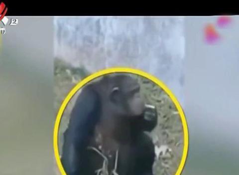 """乱投喂惹祸端!动物园黑猩猩竟娴熟""""抽烟"""",园方:自学能力太强"""