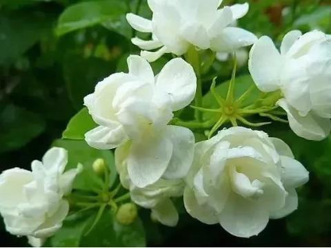 秋天到了,狠心地给茉莉花剪一剪,它将花开爆盆,香气十足