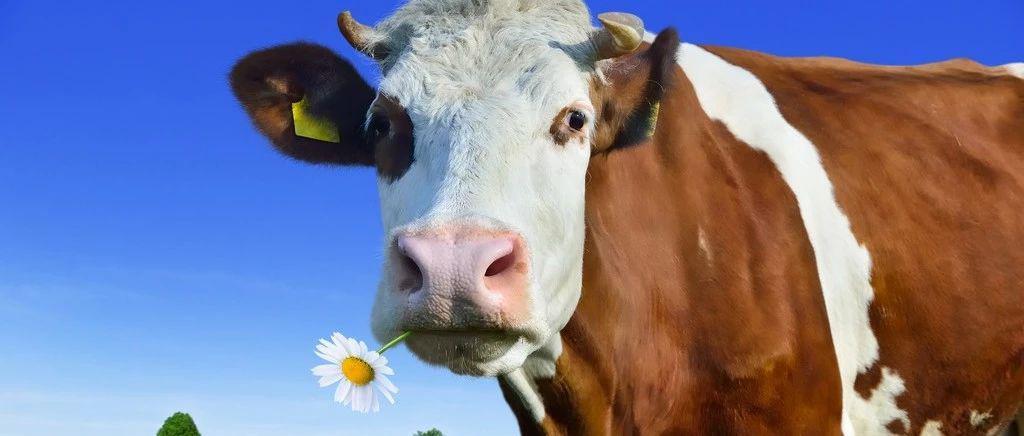 素食主义盛行致牛奶没市场?美国最大乳企宣布破产
