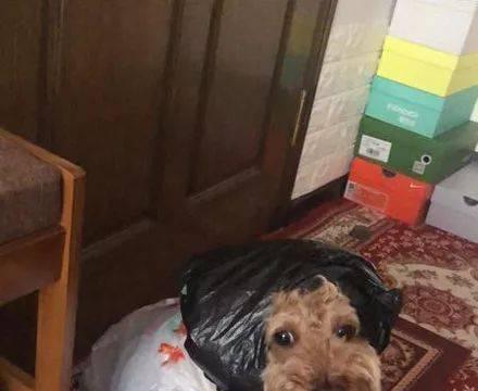 姥姥担心狗狗淋雨,就自制了一套雨衣,结果狗砸疑惑了...