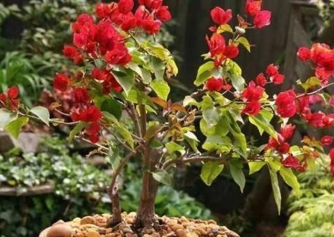 三角梅开花再美,到了冬天也怕冻,两个过度不要做,来年开花爆盆