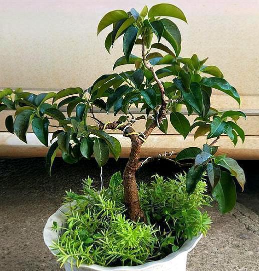 """没事出门找点""""土"""",养榕树最好用,枝粗叶油绿,关键还不花钱"""