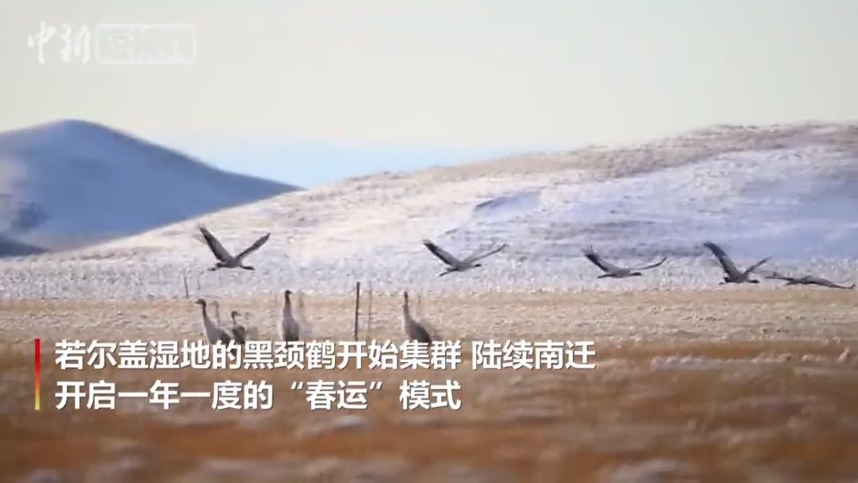 """黑颈鹤开启南迁""""春运""""模式"""