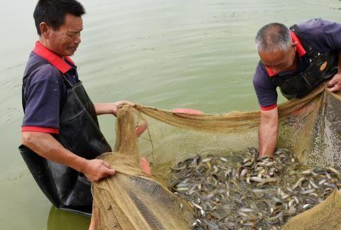 30年前多得捞不完,如今靠养殖卖30元一斤,很多人却买来放生