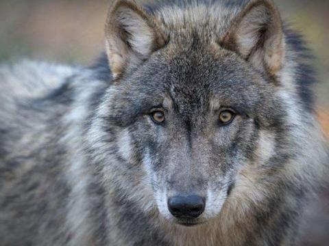 狼狗在起先是不是狼和狗交配出来的?狼交配的时和狗一样吗?