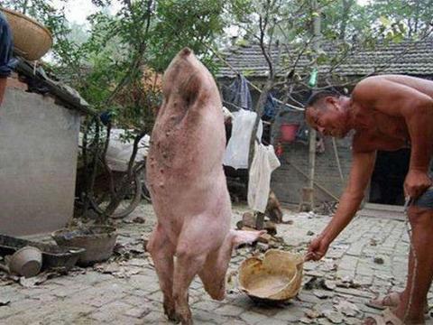 农村一猪生下来仅两条腿,马戏团愿花5000高价,大爷坚持不卖!