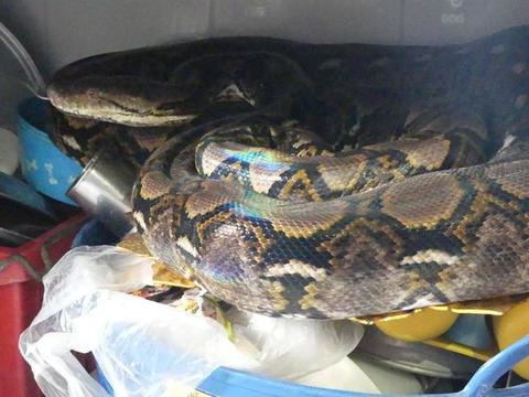 泰国住宅闯入5米巨蟒,蟒蛇吐出未消化物后女主人当场崩溃
