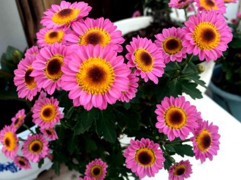 现在赶紧做好这几件事,菊花不仅花期延长,并且花大色艳开爆盆