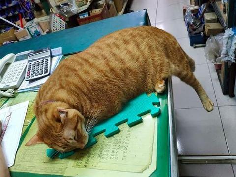 猫咪的后腿悬在半空中,它就趴在桌子上睡着了,腿不会麻吗?