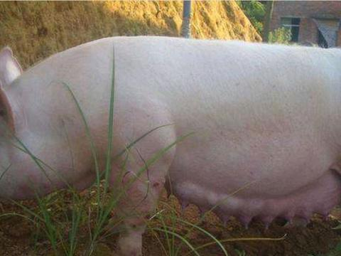 """母猪走失半年后,竟带回一群""""洋崽子"""",知道真相让吃惊"""