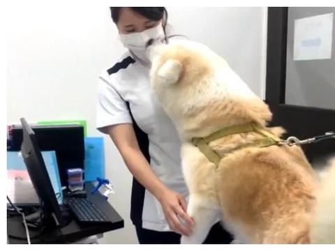 """秋田犬去医院打针,中途却换成了""""男医生"""",结果有情绪了"""