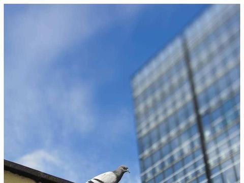 鸽舍周围高楼大厦多,怎么让鸽子更好家飞?减少陋习?