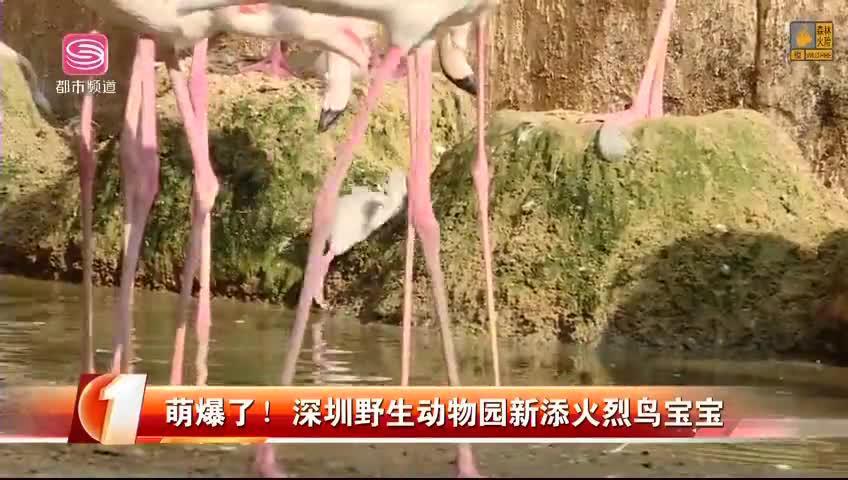 萌爆了!深圳野生动物园新添火烈鸟宝宝