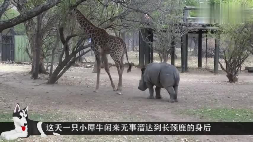犀牛作死挑衅长颈鹿,只听见啪的一声,镜头拍下搞笑的一幕