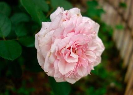 """喜欢菊花,不如养盆""""高档玫瑰""""大马士革,万紫千红,争奇斗艳"""