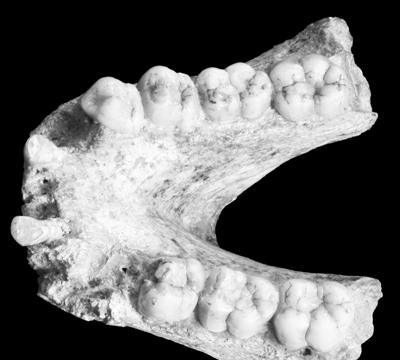 中欧科学家测序已灭绝的巨猿牙釉质蛋白