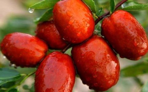 邹城特产——香城长红枣