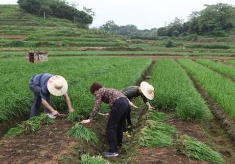 农户种韭菜,为啥今年韭菜产量底、病害多?原来是这点做错了