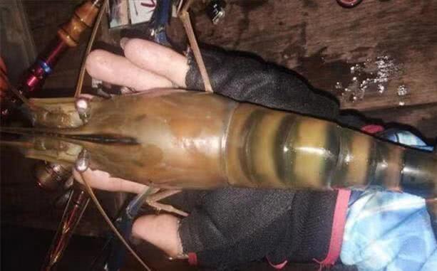 湄公河大虾泛滥成灾,中国吃货却怂了:这真不敢吃